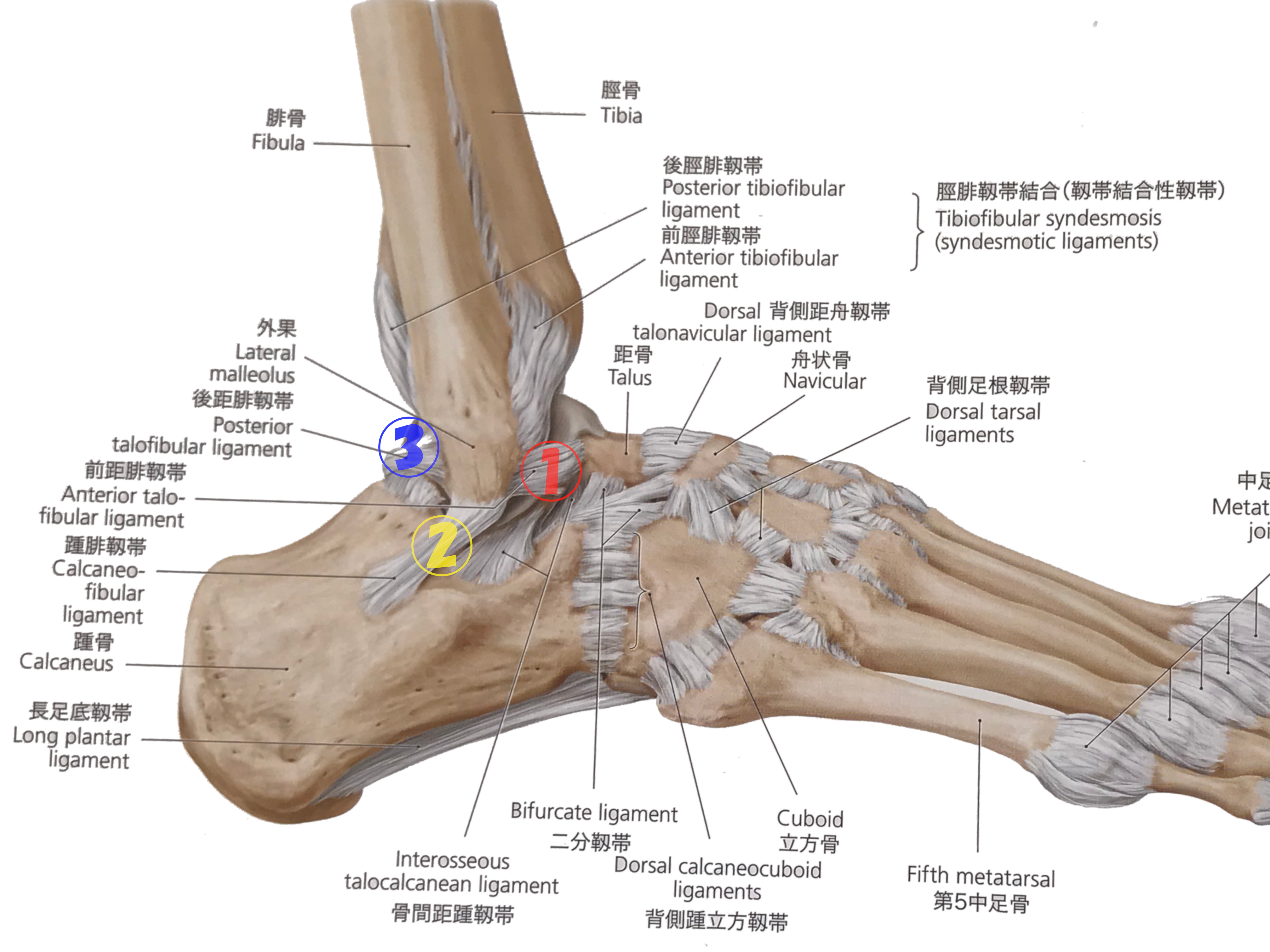 外側靭帯損傷